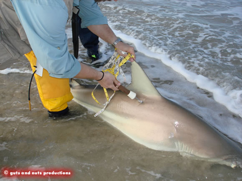 Where to place a shark tag